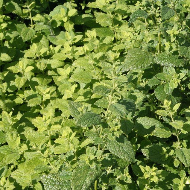 MELISSE CITRONNELLE - PLANT