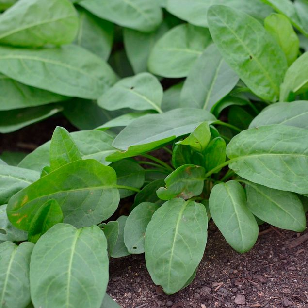 OSEILLE DOUCE A FEUILLES RONDES - PLANT