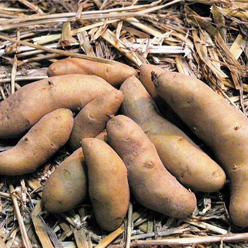 De la culture des pommes de terre ferme de sainte marthe - Pomme de terre germee comestible ...