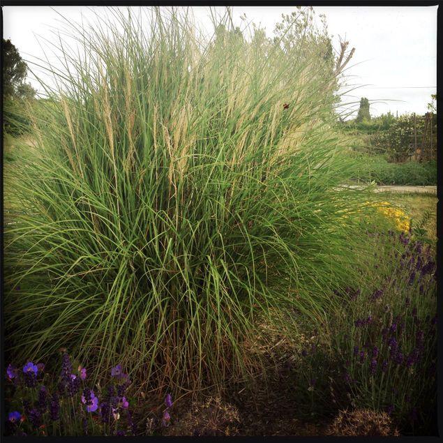 GRAMINEE MISCANTHUS SINENSIS - PLANT
