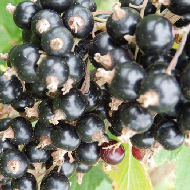 CASSIS BLACKDOWN AB - PLANT
