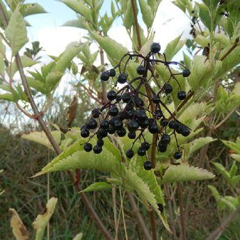 SUREAU A FRUITS NOIRS KORSOR AB - PLANT