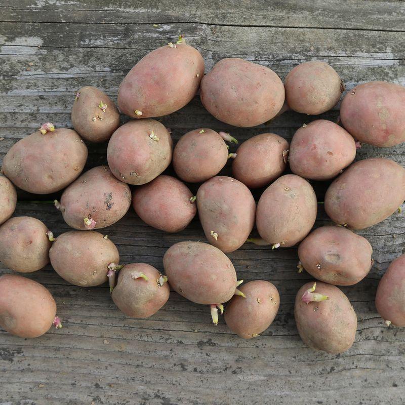 Pomme de terre yona ab ferme de sainte marthe - Pomme de terre germee comestible ...