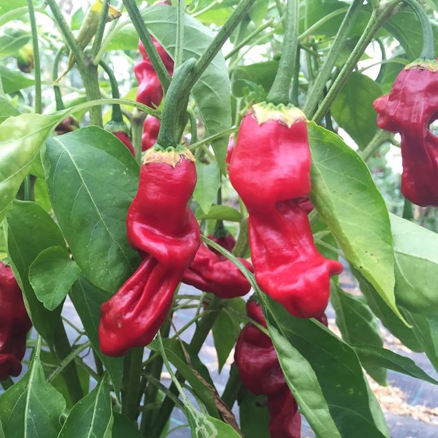 PIMENT PENIS ROUGE OU PETER PEPPER ROUGE NT