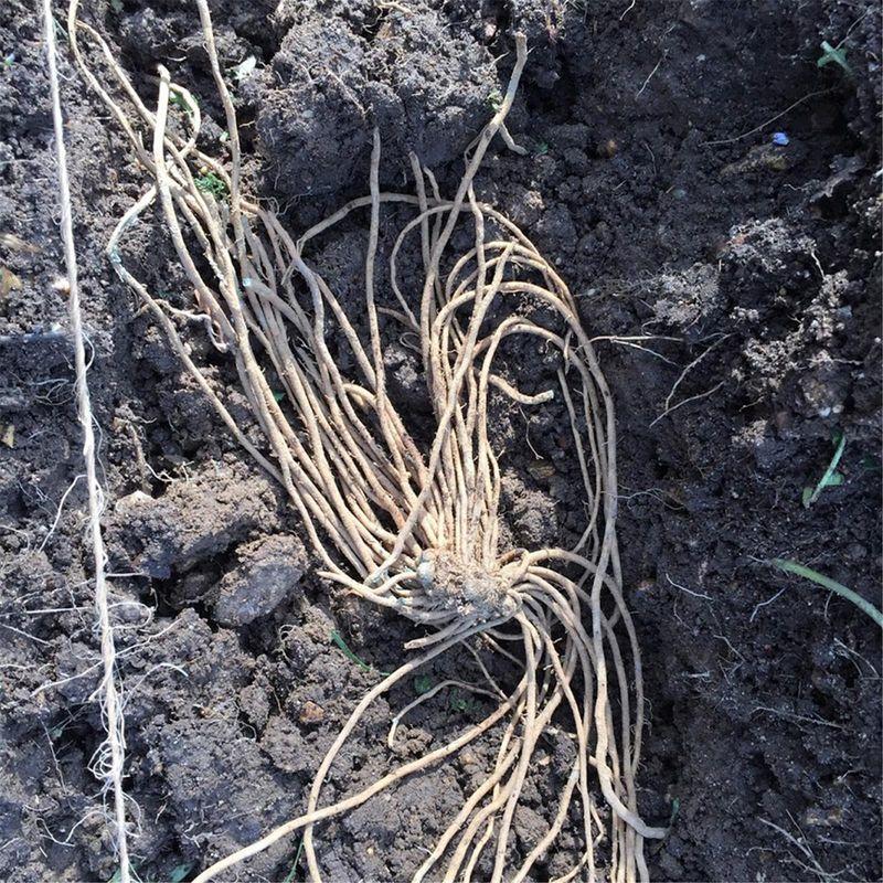 Comment planter des griffes d asperges de 2 ans ferme de sainte marthe - Comment reconnaitre physalis comestible ...