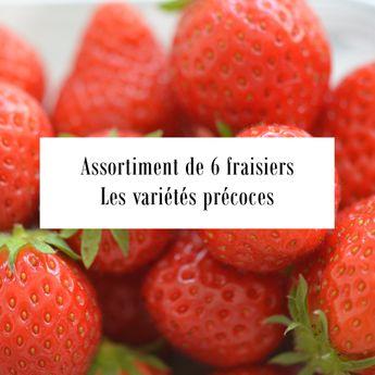 ASSORTIMENT DE 6 FRAISIERS PRECOCES