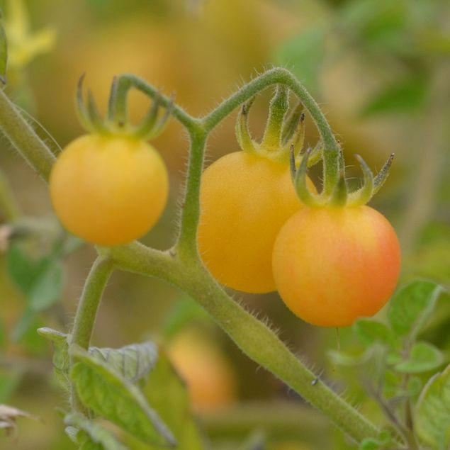 TOMATE MIRABELLE BLANCHE AB