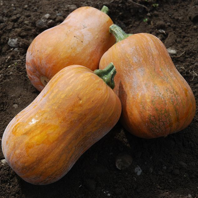 COURGE MUSQUEE HONEYNUT AB