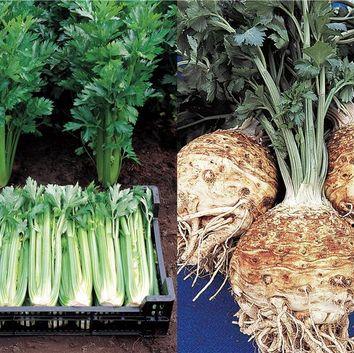 Réussir la culture des legumes potager I-Moyenne-5569-reussir-la-culture-du-celeri-branche-et-du-celeri-rave.net