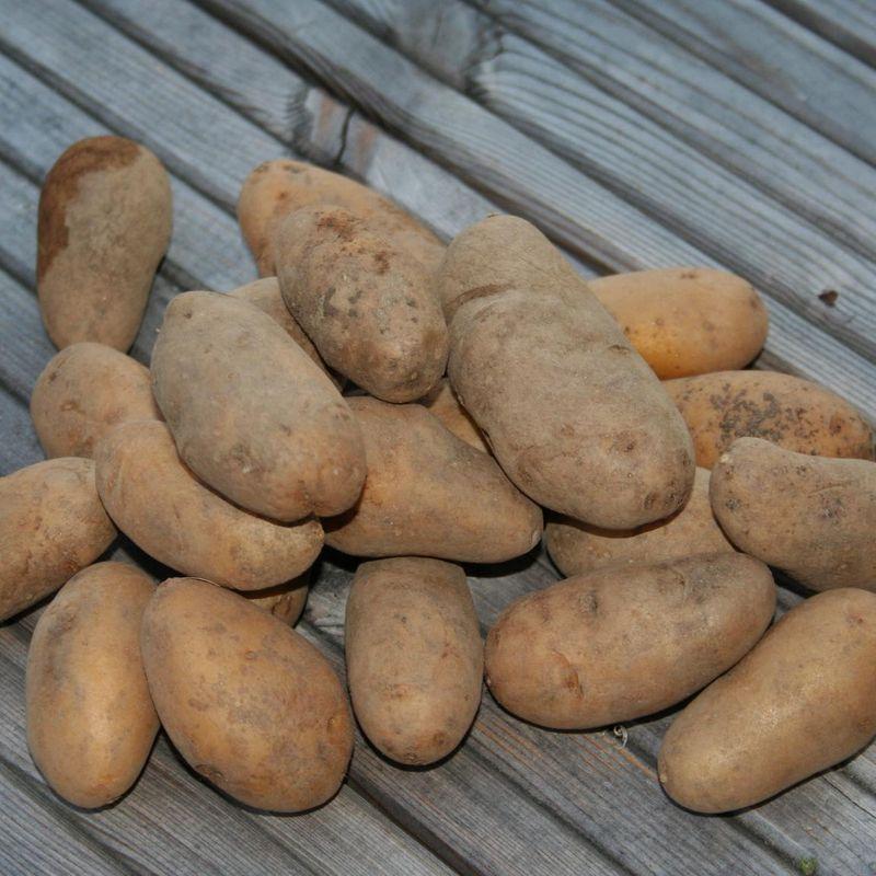 Pommes de terre et petits jardins ferme de sainte marthe - Pomme de terre germee comestible ...