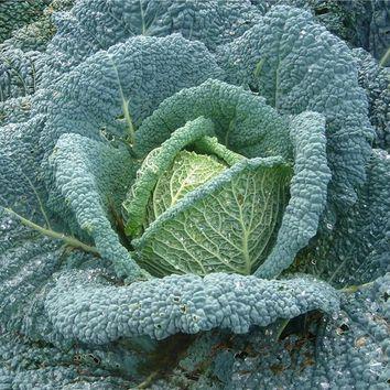 Réussir la culture des legumes potager I-Moyenne-734-reussir-la-culture-du-chou-pomme.net