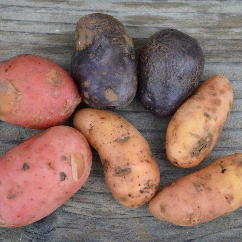 Les plants de pomme de terre de la ferme de sainte marthe ferme de sainte marthe - Pomme de terre germee comestible ...